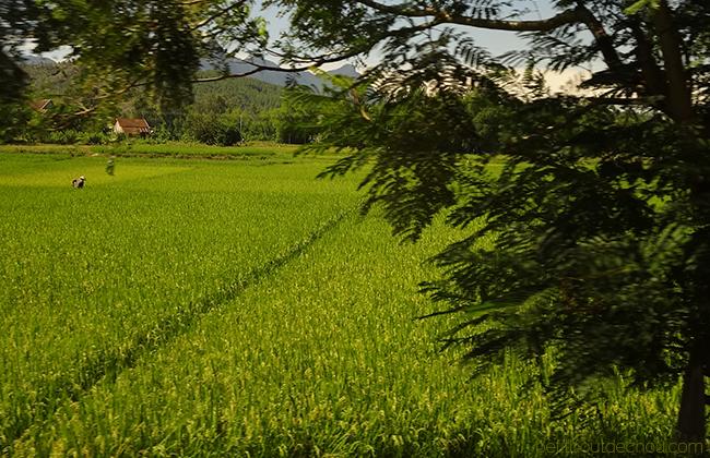 Hoi An Getaway: Rice fields
