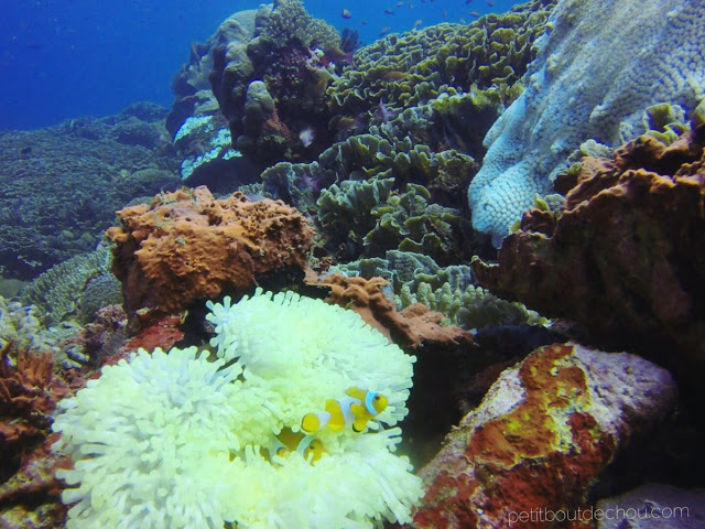 Clown fish and anemone in Nusa Penida - 2