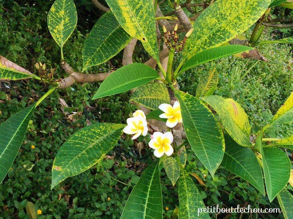frangipani hong kong
